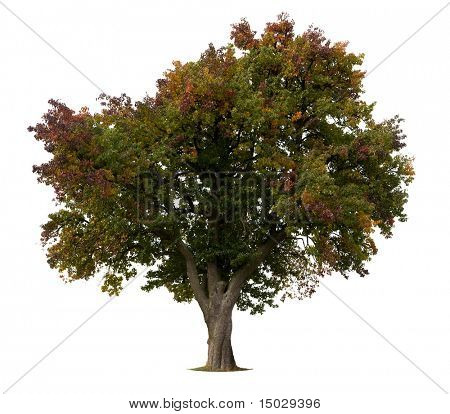 Isolated Apple Tree in early Fall