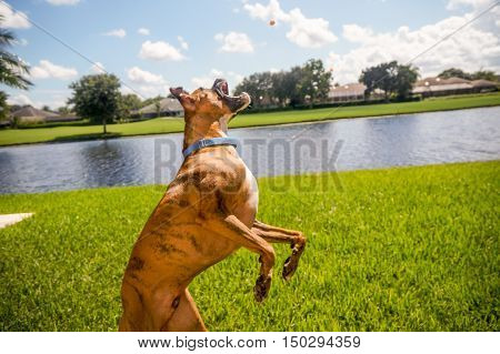 Brindle Boxer Lunges For A Treat
