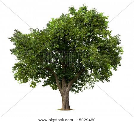 Green Apple tree isolated against white