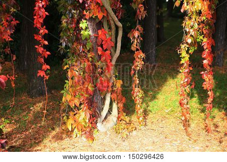 Red And Yelow Leaves In Autumn  Park