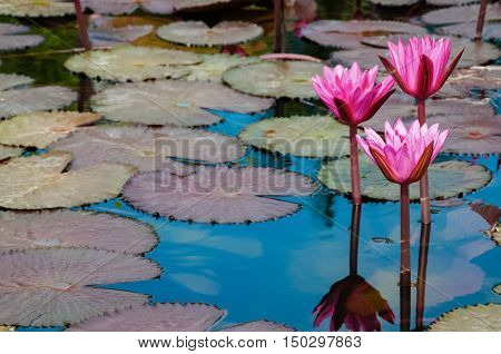 Pink water lilies group in bloom Tobago natural pond