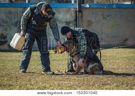 Gomel Belarus - March 27 2016: Dog handlers are trained German shepherd protection. Biting dog. Alsatian Wolf Dog. Deutscher dog