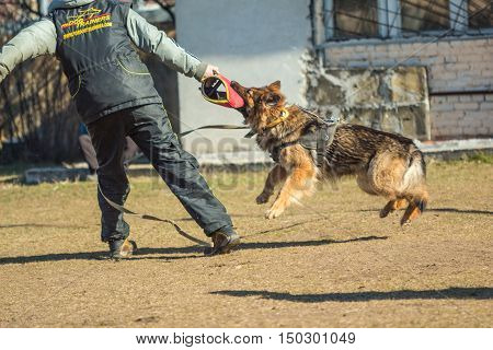 Gomel Belarus - March 27 2016: German Shepherd dog at training for the protection of attacks dog handler. Biting dog. Alsatian Wolf Dog. Deutscher dog
