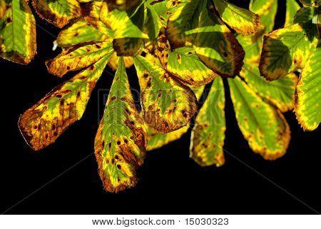 autumn chestnut leaves isolated on black