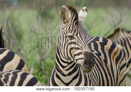 Adult Zebra Portrait