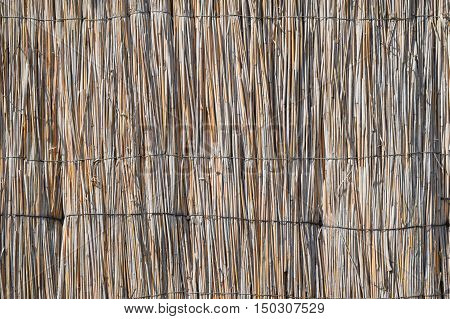 The wall of the reed stalks. The background of reeds.
