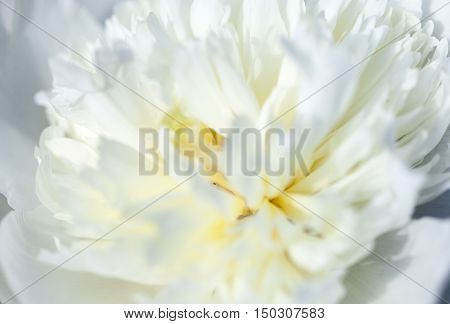 Close up of pale white peony flower. Macro photo with shallow depth of field. Abstract natural background.