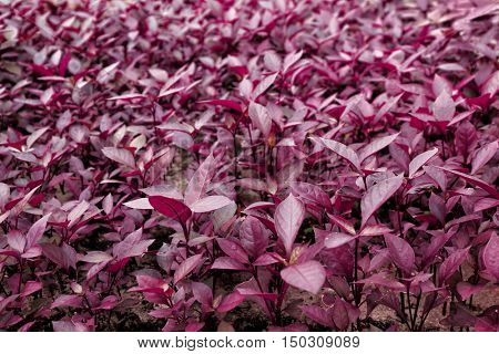 Beautiful decorative plants with red leaves, close up view