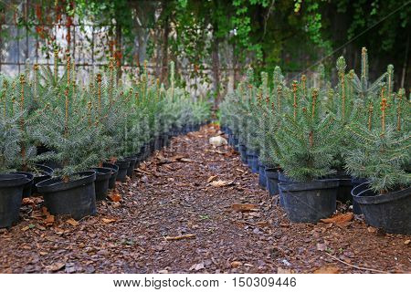 Pots with young fir tree plants in greenhouse