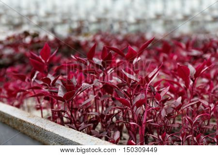 Beautiful red plants in greenhouse, close up view
