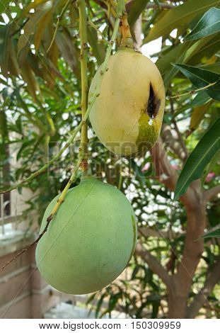 Rotting Yellow Mango and Ripening Green Mango Hanging from Tree