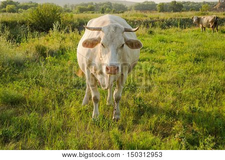 White cow at countryside looking into camera, meadow in the background.