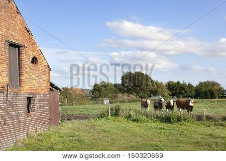 barn and cows in flanders meadow between gent and brugge in belgium on cloudy summer day