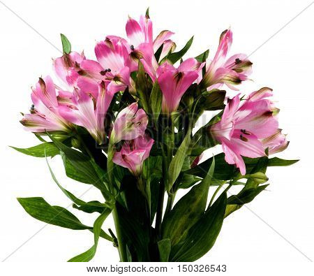 Bunch Beautiful Pink Alstroemeria with Leafs isolated on White background