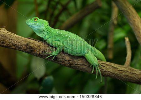 Plumed basilisk (Basiliscus plumifrons), also known as the green basilisk. Female basilisk. Wildlife animal.