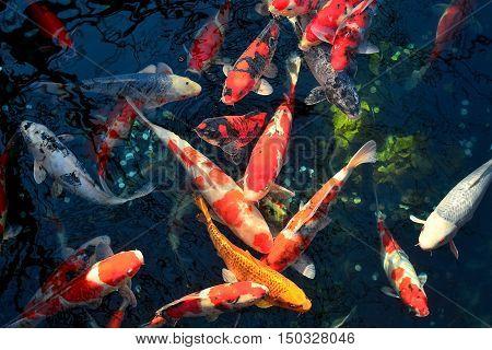 Colorful fancy beautiful carp fish koi fish