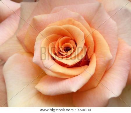 Flower - Rose