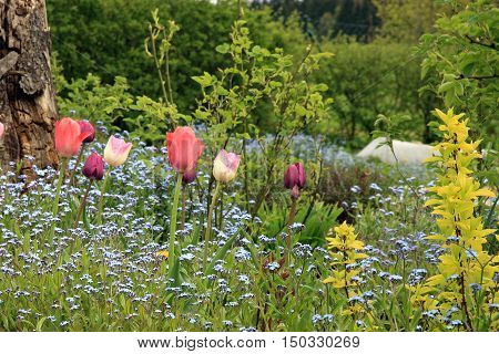 Blue Myosotis called forget me not and tulips blooming in country garden in Poland. Flowerbed with pink tulips and forget-me-not.