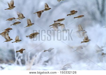 winter landscape with a flock of sparrows, birds in flight, snow, frost, frost, Passer montanus
