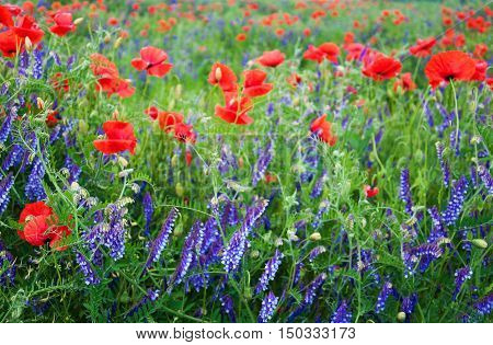Meadow With Beautiful  Red Poppy Flowers