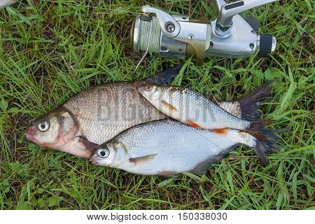 Common Bream Fish And Silver Bream Or White Bream Fish, Roach Fish On Green Grass. Catching Freshwat