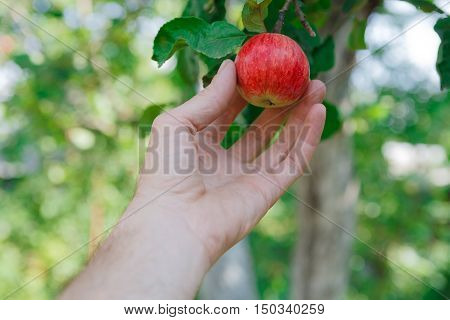 Farmer's hand pick red ripe apple on a tree branch. Closeup of fresh organic apple with green leaves. Autumn garden in village. Growing seasonal fruits, gather harvest at farm, agricultural concept