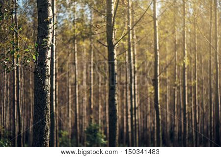 Tall autumn trees in deciduous forest with sunlight beaming through branches and yellow leaves
