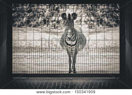 Desperate zebra showing a sad scene in a zoo