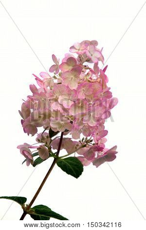 Hortensia (Hydrangea Macrophylla) flower on white background