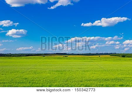 The green oats field and clouds in the sky