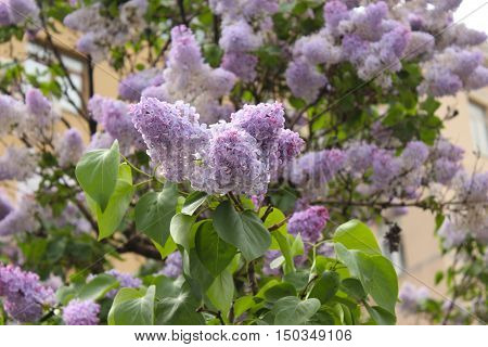 The buds blossoming lilac in spring, Moscow