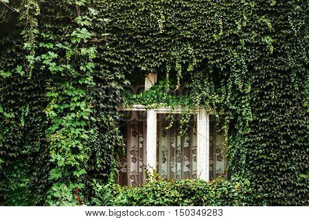 Ever green foliage surrounding window with curtains on ivy covered house wall
