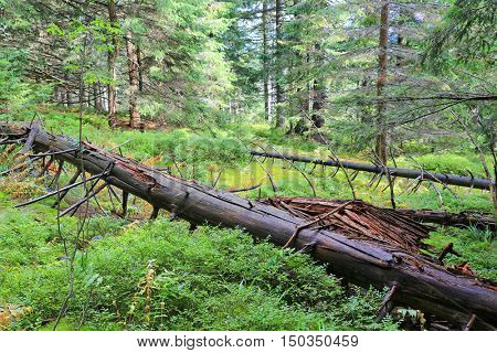 old  dry dead tree among green moss in forest. Carpathians, Ukraine.