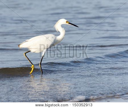 Snowy egret hunting for food in the shallow water at the beach