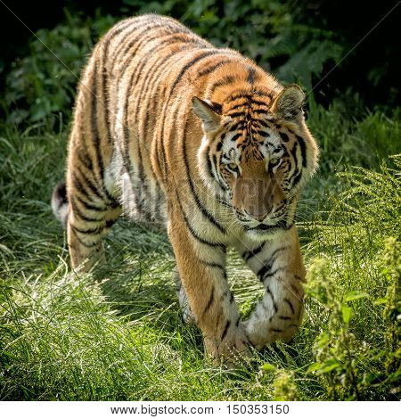 A square portrait of an Amur tiger on the prowl