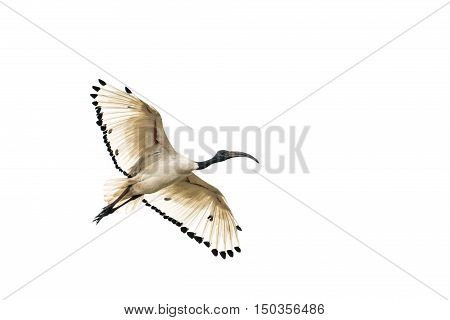 A white Ibis flying in the air with its wings spread