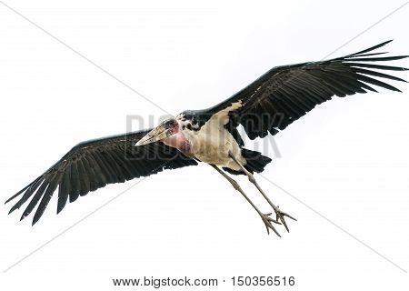 A Marabou Stork scavenger bird in mid flight over Hawassa Lake