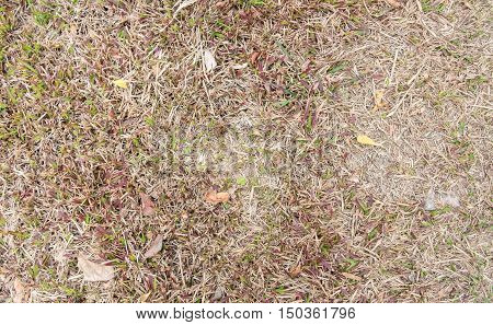 close up dry grass ground texture background.