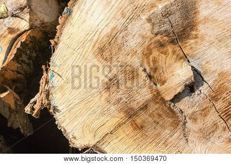 close up on a tree trunk oak wood before transformation