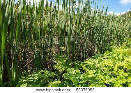Bulrush. Marsh Plants.