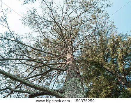 Tall Cedars of Lebanon in small grove