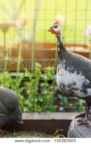 guinea fowl on a sunny summer day