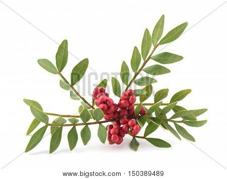 Mastic Tree with Red Berries - Pistacia lentiscus isolated on white background poster