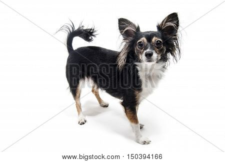 toy terrier dog standing isolated on white