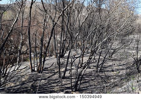 Charcoaled landscape with burnt trees at a forest caused from a wildfire
