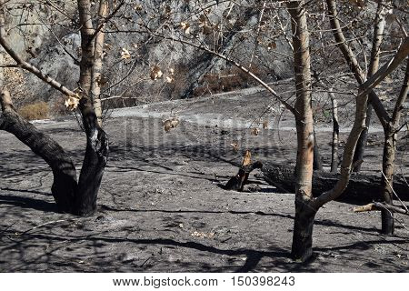 Charcoaled trees caused from a wildfire taken in drought stricken California