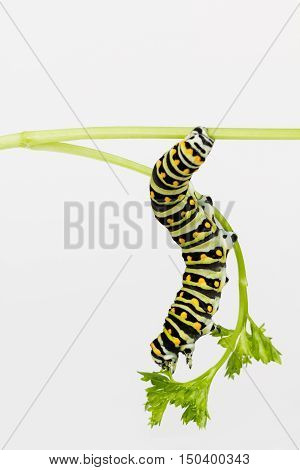 Large hungry Black Swallowtail larva stretches to reach tender parsley leaf.