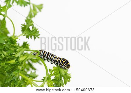 Intricately patterned Swallowtail butterfly larva resting on parsley leaf with white background and copy space.