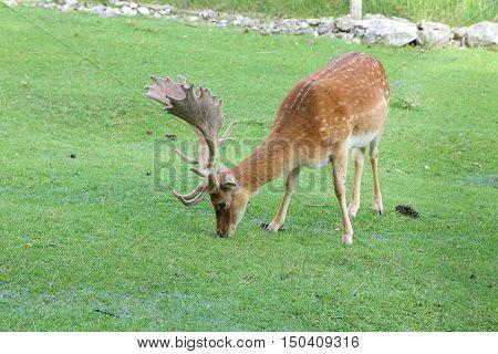 Fallow deer during the rutting season - Italy