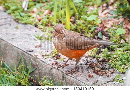 Sabia Laranjeira bird perched on the garden.